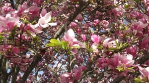 Oriental Magnolia taken in Vallejo